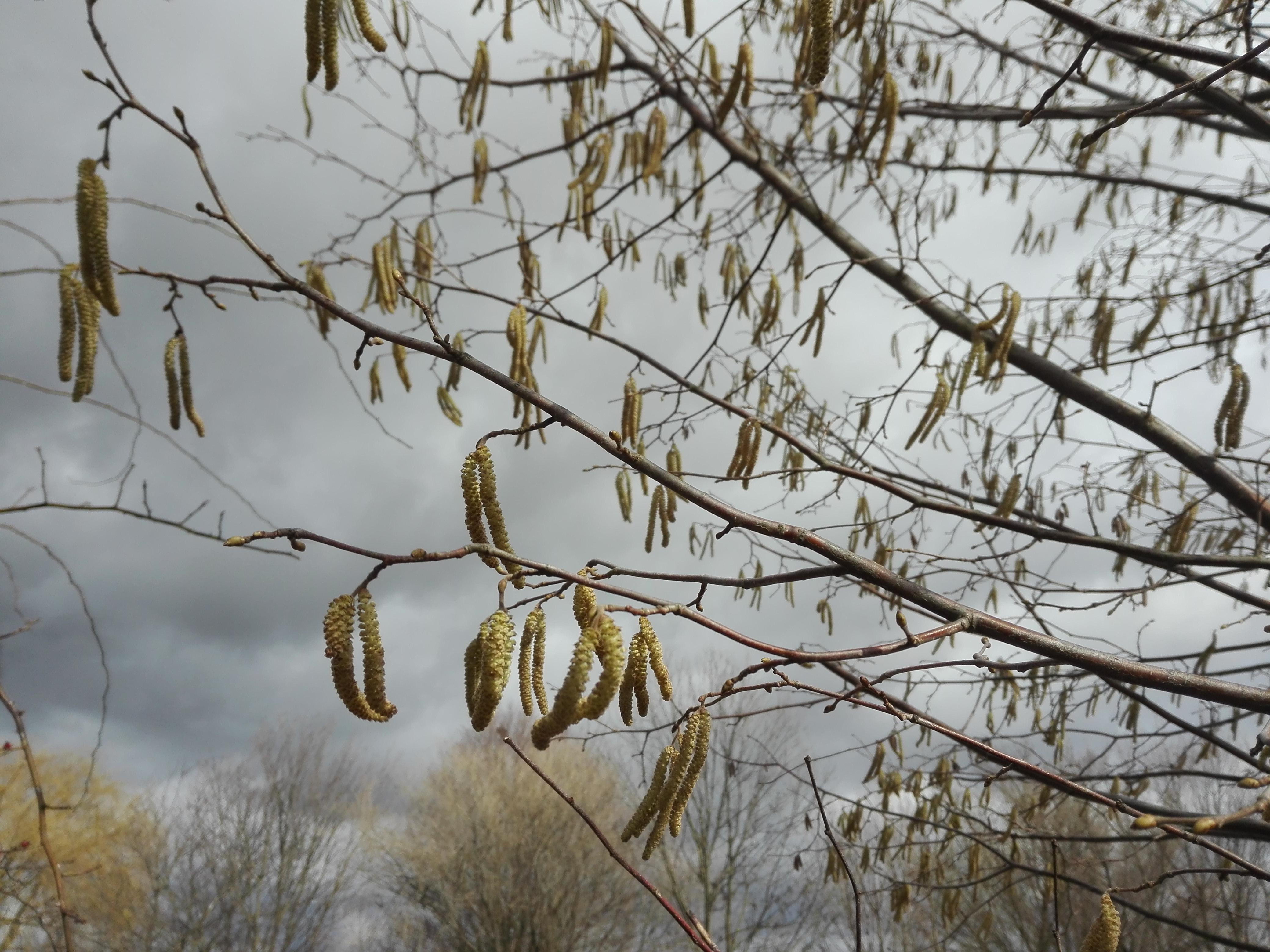 Frühlingsblüten – Blütenpollen – Pollenallergie